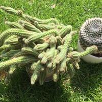 Co to za kaktusiki ?