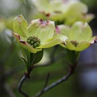 Dereń kwiecisty (Cornus florida L.)