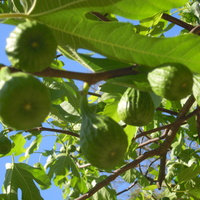 figi dojrzewają