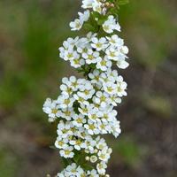 Gałązka krzewu kwitnącego