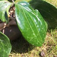 Hoya latifolia