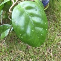 Hoya rosita 3