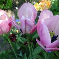 I już po ptokach (tulipanach)