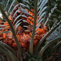 Intrygująca palma w ogrodzie botanicznym.