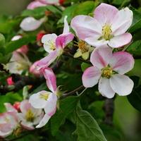 Jabłonie, kwitnące jabłonie . . . . . .
