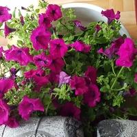 Kwiaty Babci na Balkon
