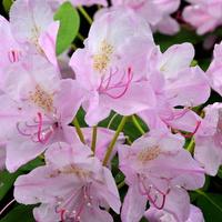 Kwitną azalie