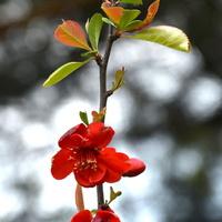 Kwitnąca (wesoła) gałązka, pigwowiec