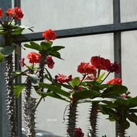 Kwitnący wilczomlecz (miał wys. ok. 4 metry