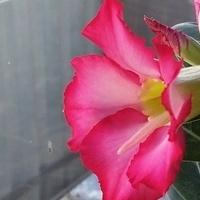 Kwitnie adenium