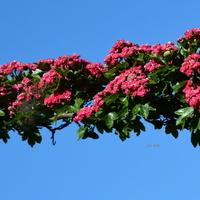 Kwitnie głóg czerwony