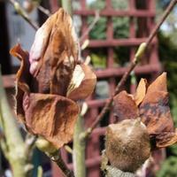 Moja magnolia w tym roku już nie zakwitnie