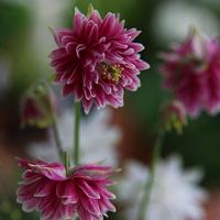 Orlik 'Pink Barlow'