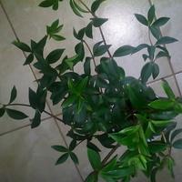 Peperomia pereskifolia