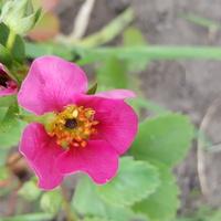 Różowa truskaweczka