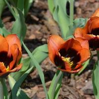 Trojaczki tulipanowe