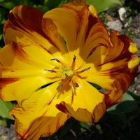 Tulip z Opola