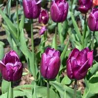 Tulipany jeszcze dobrze sobie radzą.