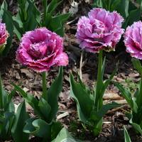 Tulipany nadal królują. Jest ich wszędzie dużo.