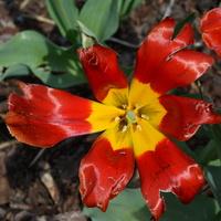 wiatraczek tulipanowy