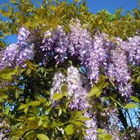 ...wisteria..