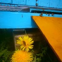 zmęczone noszeniem pyłku zbieraczki :)