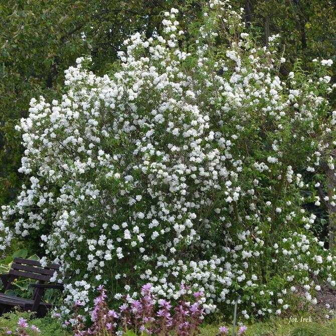 jaśminowiec w ogrodzie botanicznym
