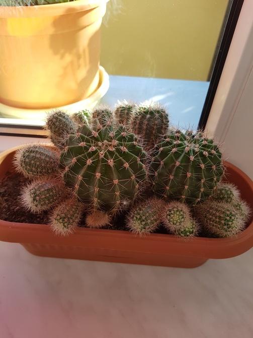 Kaktusiki-rodzinka