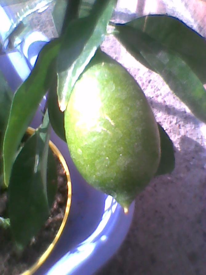 Limonella  owoc już duży