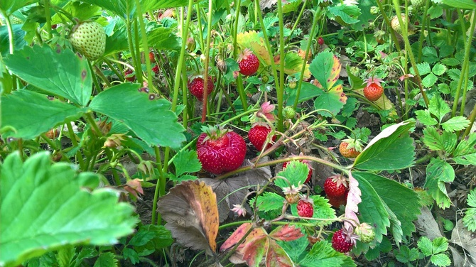 moje truskawki maja mase owoców
