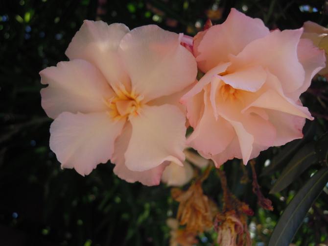 ..oleander..