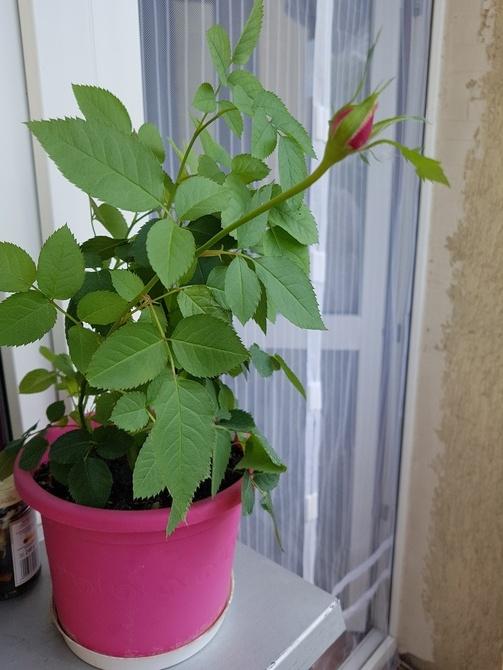 Róża mini...
