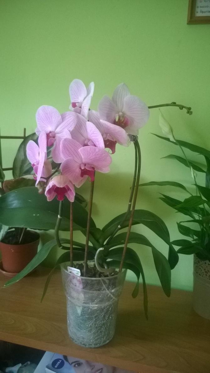 Storczyk pink