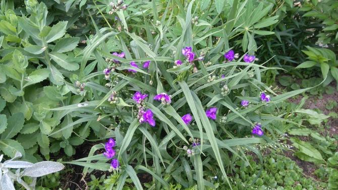 Trzykrotka w kwiatach