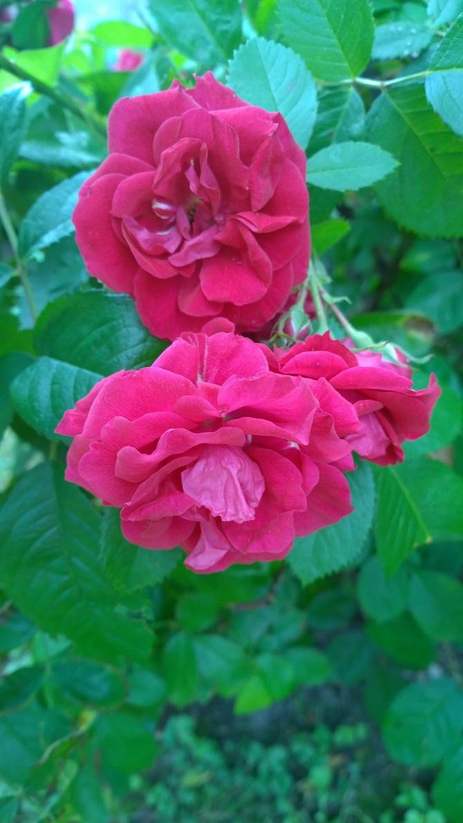 Zakwitła róża