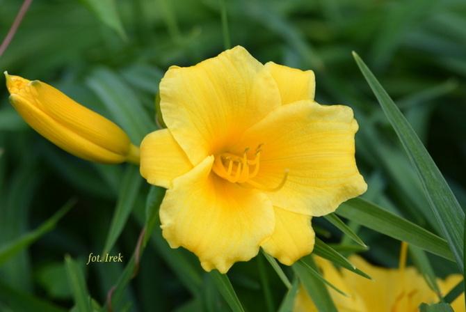 żółty liliowiec