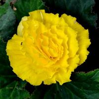 Begonia jak róża