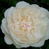 Bezimienna róża .  Makro.