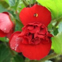 Druga begonia wielkokwiatowa