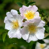 Dzika róża na terenie ZOO