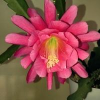 Epiphyllum też kwitnie :D
