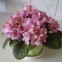 Fiołek różowy