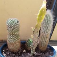 Kaktusy-mała rodzinka...