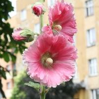 Malwa różowa ;)