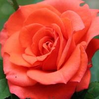 Moja najładniejsza róża ;)