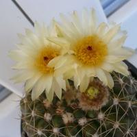 Notocactus w całej elegancji :)