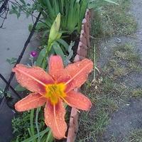 Pierwszy kwiat liliowca