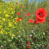 Polskie kwiaty :-)