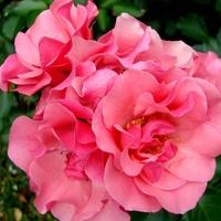 Róża ' Alicja '.  Makro.