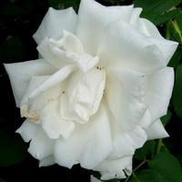 Róża ' Frau Karl Druschki '.  Makro.